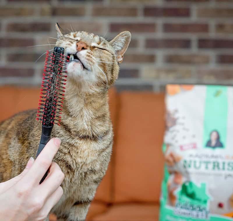 female domestic cat